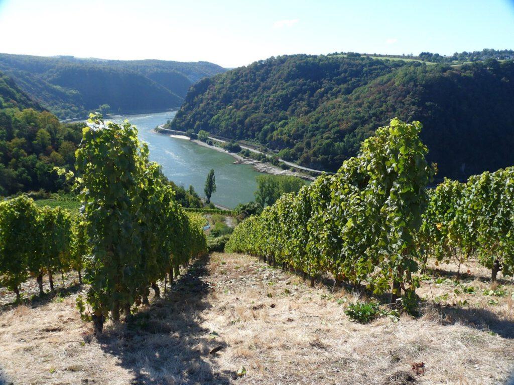 Zu sehen ist der Blick von einem Weinberg mit Weinreben auf den Rhein.
